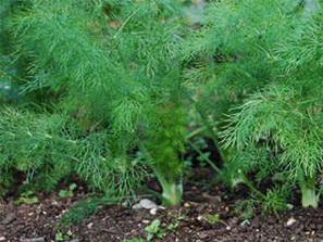 Hinojo, una planta de delicioso aroma y múltiples propiedades